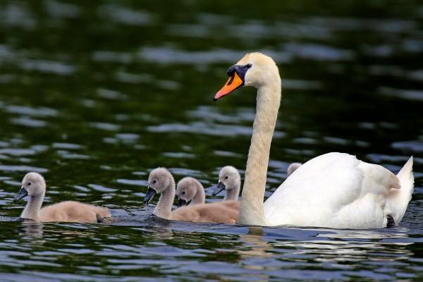 Polluelos de cisne nadando junto a su madre