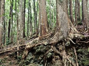 Raíces de un gran árbol