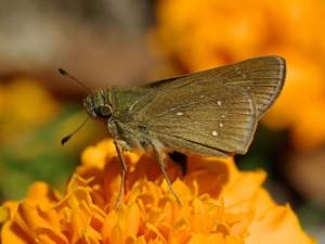Mariposa hesperiinae sobre una flor