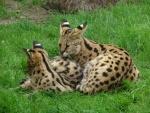 Serval hembra cuidando de su cachorro
