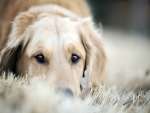 Labrador retriever tumbado sobre hierba seca