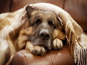 Pastor Alemán durmiendo en un sofá