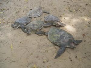 Tortugas marinas sobre la arena