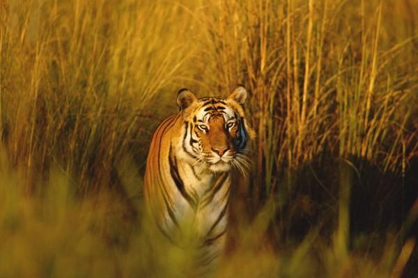 Tigre de Bengala quieto entre las plantas