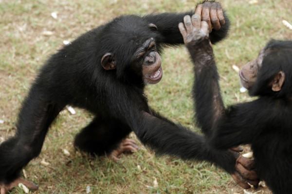 Dos chimpancés peleando