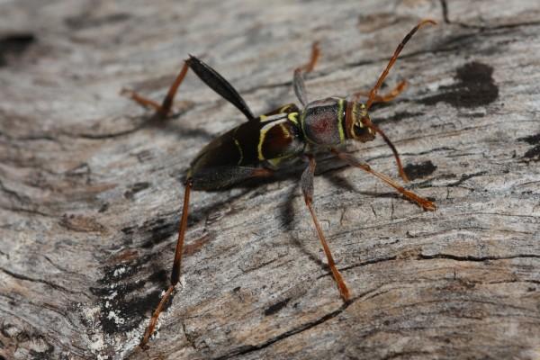 Escarabajo con largas antenas