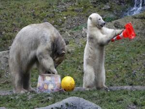 Osos polares jugando