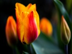 Tulipán con pétalos de dos colores