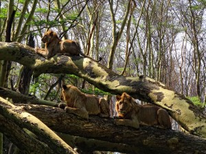 Leones tumbados sobre unos troncos