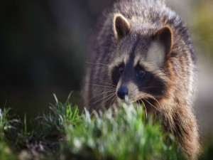 Un mapache sobre la hierba