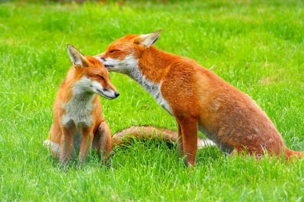 Pareja de zorros sobre la hierba