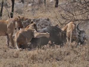 Leonas atacando a un búfalo