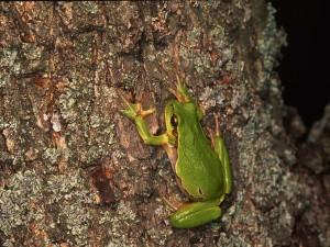 Ranita verde en un árbol