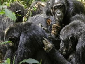 Un grupo de chimpancés