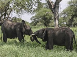 Elefantes luchando sobre la hierba