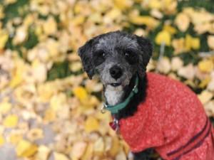 Bonito perro con un jersey rojo