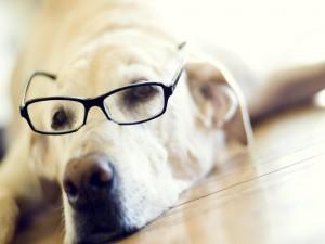 Un labrador retriever con gafas
