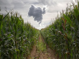 Camino en el campo de maíz
