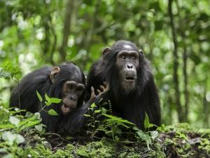 Dos chimpancés en el bosque