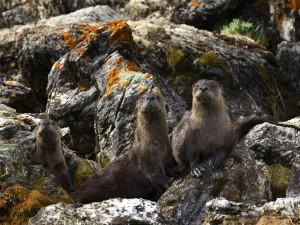 Tres nutrias sobre unas rocas
