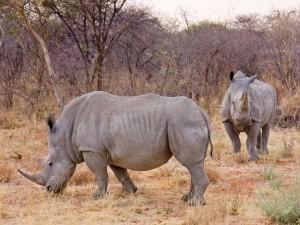 Dos rinocerontes