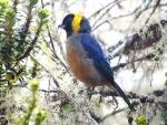 Pájaro azul y amarillo sobre una rama