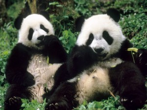 Dos pandas gigantes comiendo