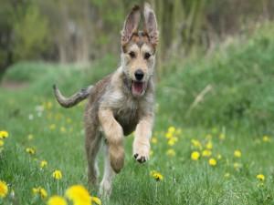 Perro corriendo por un campo de  flores amarillas