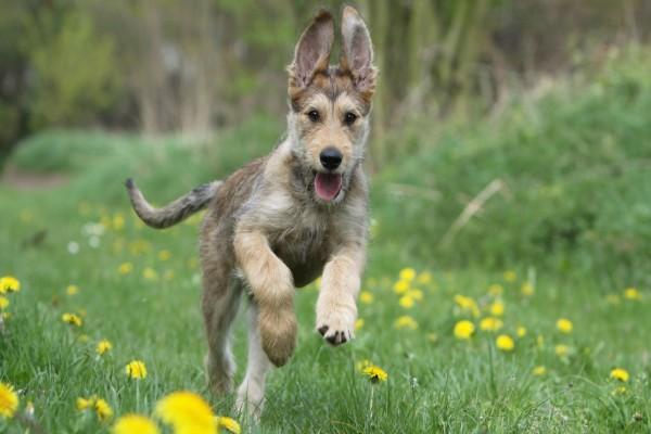Perro Corriendo Por Un Campo De Flores Amarillas (64785