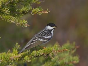 Pájaro sobre la rama de un pino