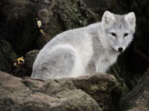Bonito zorro ártico