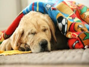 Labrador retriever tapado con una manta mientras duerme