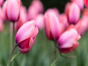 Hermosos tulipanes de color rosa
