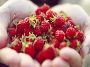 Manos llenas de fresas silvestres