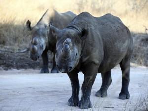 Dos pequeños rinocerontes negros