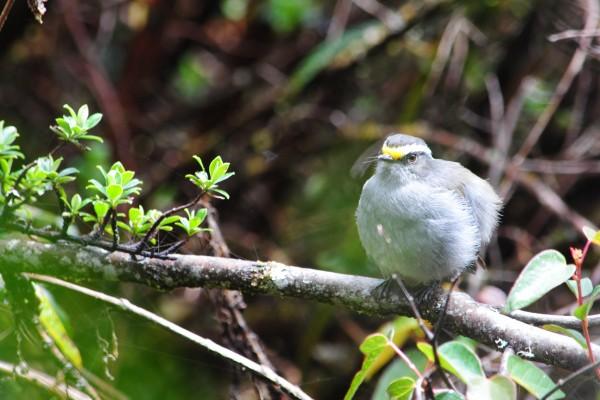 Pájaro de plumaje gris sobre una rama
