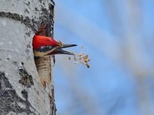 Pájaro en el hueco de un árbol intentando coger la comida