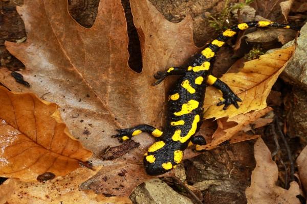 Salamandra sobre hojas otoñales