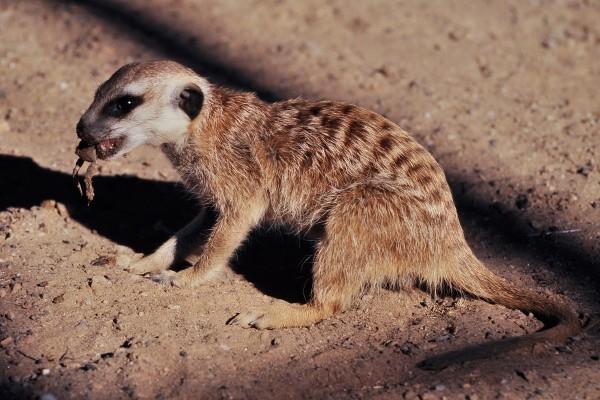 Un suricata comiendo