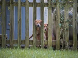 Dos perros detrás de una valla