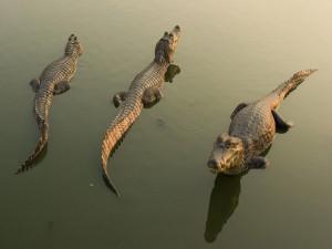 Tres cocodrilos descansando sobre el agua