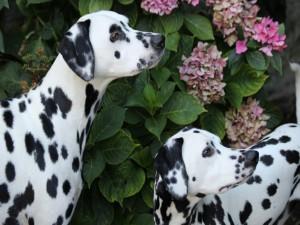 Dos dálmatas junto a una planta de hortensias