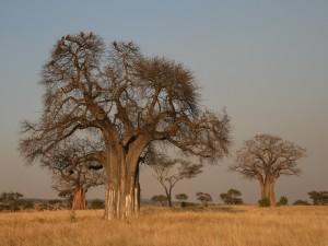 Baobabs (Adansonia digitata)