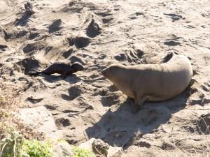Foca vigilando a su cría sobre la arena