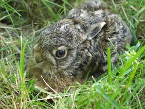 Conejo entre la hierba