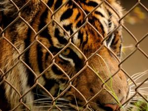 Tigre viviendo en cautividad