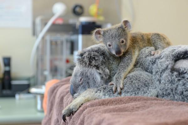 Pequeño koala sobre su madre