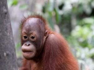 Pequeño orangután