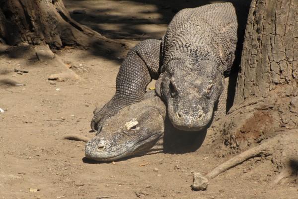 Dos dragones de Komodo