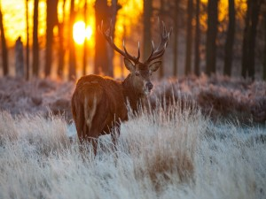 Sol del atardecer tras un ciervo